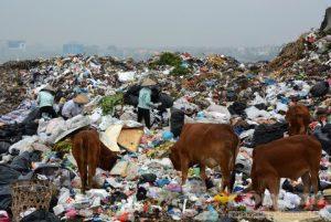 Người và gia súc cùng mưu sinh trên bãi rác lớn nhất Bắc Ninh